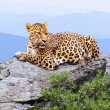 Leopard in wildness area — Stock Photo #13645606