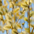Spring willow background — Stock Photo