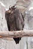 Vulture sitting on wood trunk — Stock Photo