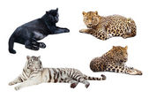 Lying big wild cats. Isolated over white — Stock Photo