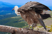 Griffon vulture against mountains — Stock Photo