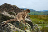 Snow leopard on rocky — Stock Photo