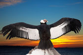 Andean condor against sunset sky background — Stock Photo