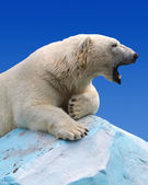 Polar bear — Stockfoto