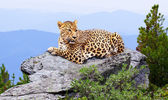 Leopard in wildness area — Stock Photo