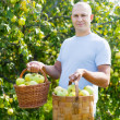 Man with basket of harvested apples — Stock Photo
