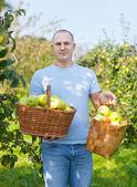 Hombre con cesta de manzanas cosechadas — Foto de Stock