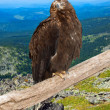 Eagle against wildness — Stock Photo #15260439