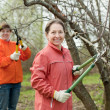Stock Photo: Two women trimming apple tree