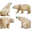 Polar bears. Isolated over white — Stock Photo