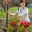Stock Photo: Female gardener planting thuja