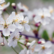 Blooms tree branch in  blur background — Стоковая фотография