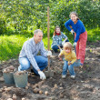 family harvesting potatoes in  garden — ストック写真