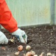 Gardener sets onion in soil — Foto Stock