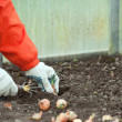 Gardener sets onion in soil - Foto Stock