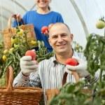 mulher e homem escolher tomate — Foto Stock