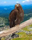 Eagle against wildness — Stock Photo
