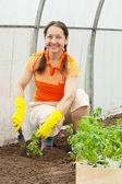 Woman planting tomato spouts — Foto de Stock