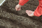 Gardener sows seeds in soil — Stock Photo