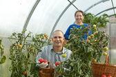 Man and woman picking tomato — Stock Photo