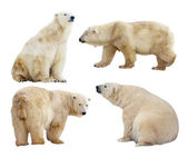 Polar bears. Isolated over white — Stok fotoğraf