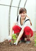 Becs de femelle jardinier, plantation de tomate — Photo