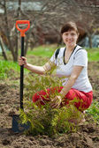 Female gardener planting thuja — Stock Photo