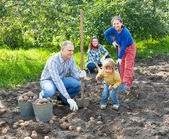 Family harvesting potatoes in garden — Stock Photo