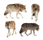 Set van enkele wolven over wit — Stockfoto