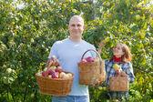 Happy couple picks apples — Stock Photo