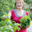 Woman gathers currant leaves - Stock Photo