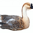 Greylag Goose  over white — Stock Photo