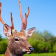 Sikdeer in wildness — Stock Photo #18199529