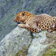 Leopard at wildness area — Stock Photo #18199703