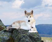 Bílý vlk v oblasti divokost — Stock fotografie