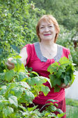 Woman gathers currant leaves — Stock Photo