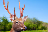 Sika deer in wildness — Stock Photo