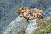 Leopard at wildness area — Stockfoto