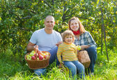 Happy family gathers apples in the garden — Stock Photo