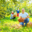 Stock Photo: Family gathers apples in garden