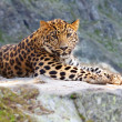 Leopard on rock — Stock Photo #18200161