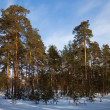 Winter lanscape with pine forest — Foto Stock