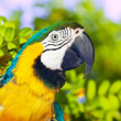 Macaw  in wildness area — Stock Photo