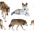 Stock Photo: Wolves on white background