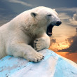 Polar bear against sunset — Stock Photo
