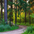 Summer spruce forest   — Stock Photo