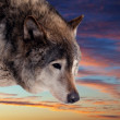 Head of wolf  against sunset - Stock Photo