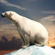 urso polar — Foto Stock