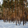 Stock Photo: Pine forest in frozen day