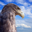 Foto Stock: Eagle against blue sky